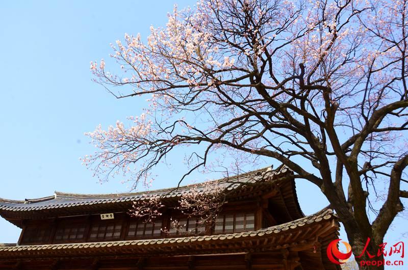 韩国德寿宫赏花