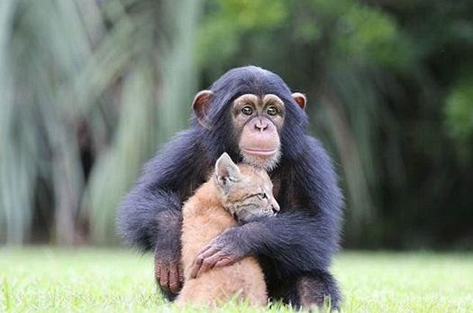 动物园里狧猁与黑猩猩成伙伴形影不离