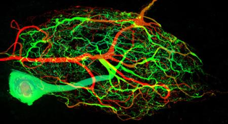 神经元可以自我更新且不影响大脑功能