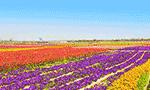 五一去京郊看花海 60多个特色农田观光点等你来