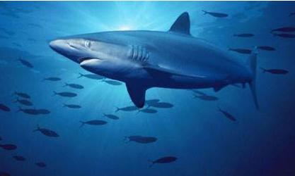 可惜!鲨鱼造访海滩 伤势重被安乐死