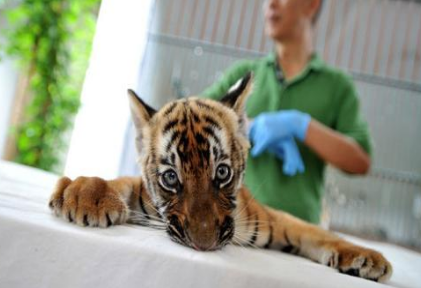 广州动物园又迎来四只华南虎宝宝
