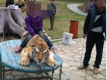 Des tigres maltraités dans un zoo en Chine