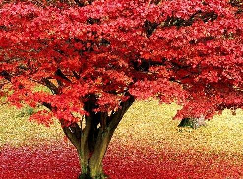 Otoño colorido - diez destinos turísticos donde contemplar hojas rojas en China 1