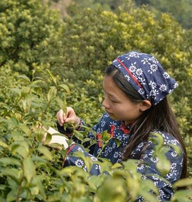 Agricultores recolectan hojas de té en jardín de té en Suzhou