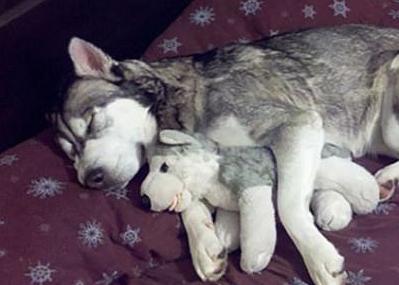 ¡Yo y mi hermanito! Mascotas durmiendo con sus juguetes de peluche