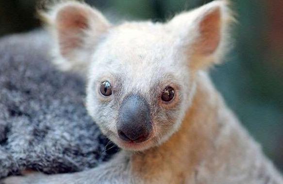 Zoológico de Australia da la bienvenida a un koala muy particular