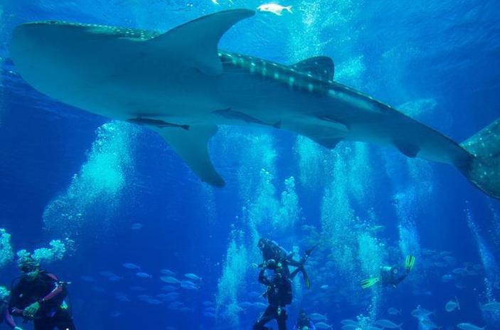 Guangdong: Tiburón ballena en acuario Chimelong Ocean Kingdom