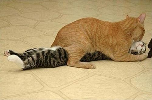 搞笑 猫咪/很黄很暴力……...