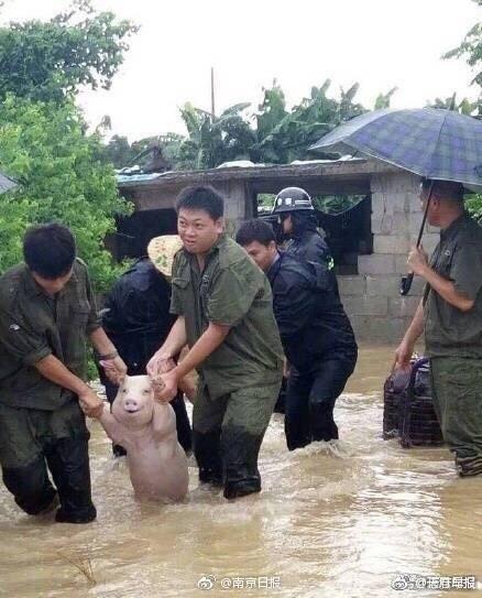 有点心疼!这只受灾的猪被做成表情包了