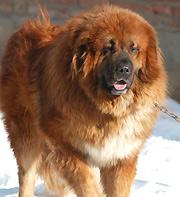 Tibetanische Dogge Preis