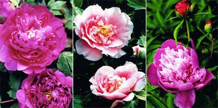 زهور الفونيا 141338.jpg