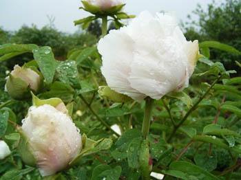 زهور الفونيا 141340.jpg
