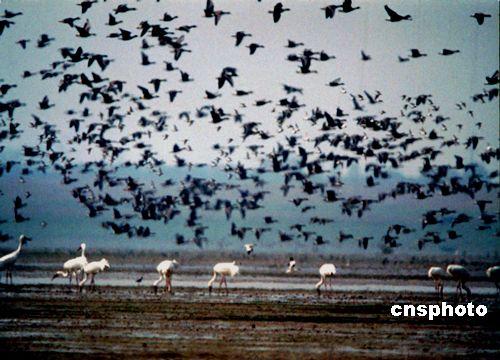 11月2日,一群群白鹤,大雁在江西省永修县鄱阳湖国家自然保护区大湖池