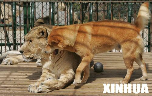 韩国镇海一家动物园里 狗狗狮子一家亲