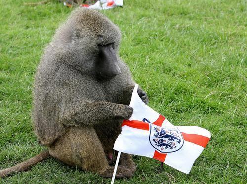 世界杯狒狒也疯狂 可爱狒狒滑稽有趣(组图)