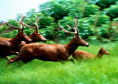 Chinese Deer as Milu Deer to Chinese