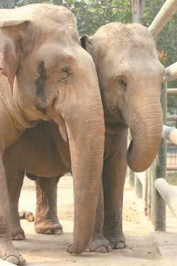 Yakun (left) stands next to his mate Liya at Jinan Zoo in Shandong Province