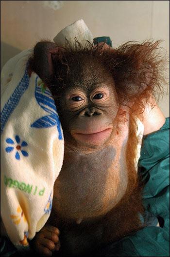 baby orangutan bath MEMEs
