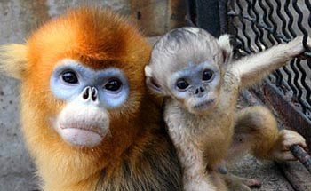 Celebration For Baby Golden Monkey China Org Cn