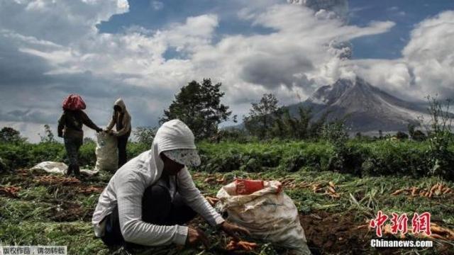 印尼锡纳朋火山爆发 周边农民淡定田间劳作