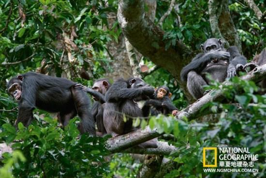 一只黑猩猩加入到响彻森林的激昂的嚎叫大合唱中.
