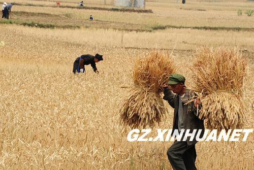 省兴义市安章村农民在收割小麦.    摄 -贵州干旱灾区小麦开镰