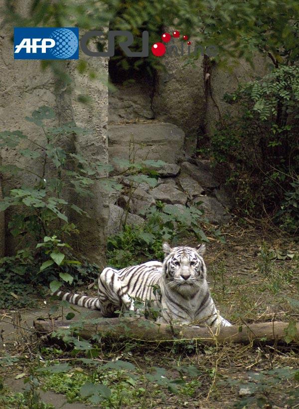 北京动物园展出罕见白色东北虎(高清组图)