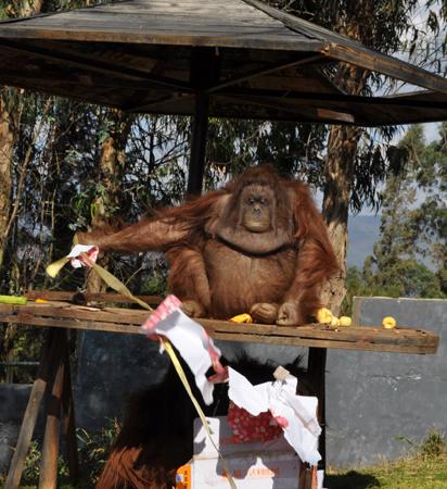 云南野生动物园动物提前过上圣诞节(组图)