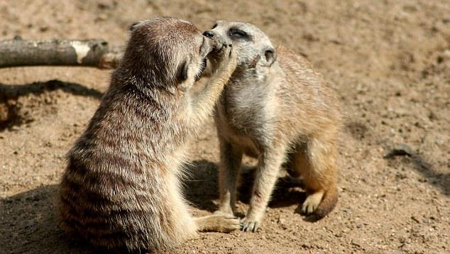 """资料图:动物世界上演母子真假""""亲吻"""""""