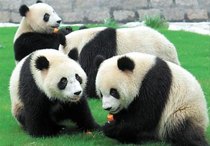 上海野生动物园5只世博大熊猫生活悠哉.