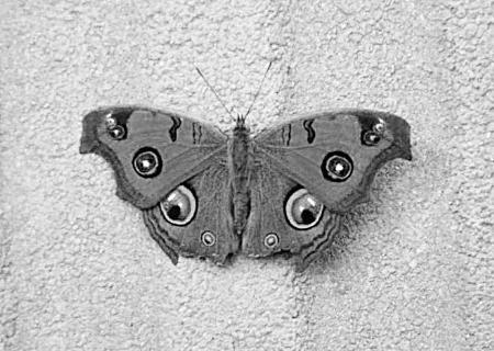 眼睛状花纹的蝴蝶