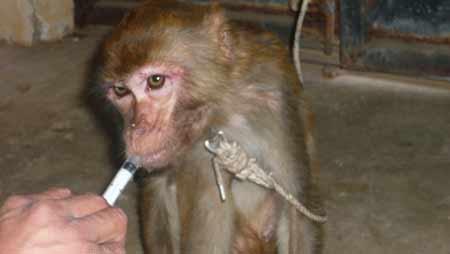 生病猕猴被遗弃在派出所外野生动物园全力救治