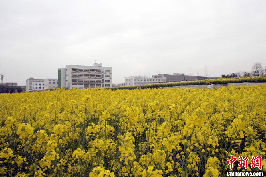 华中农业大学校园风光旖旎鲜花齐放图片