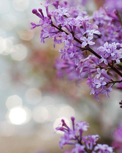丁香树代替菩提树