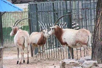 壁纸 动物 羚羊 骆驼 396_264