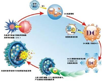 肿瘤生物细胞免疫疗法的治疗过程主要分为三个部分