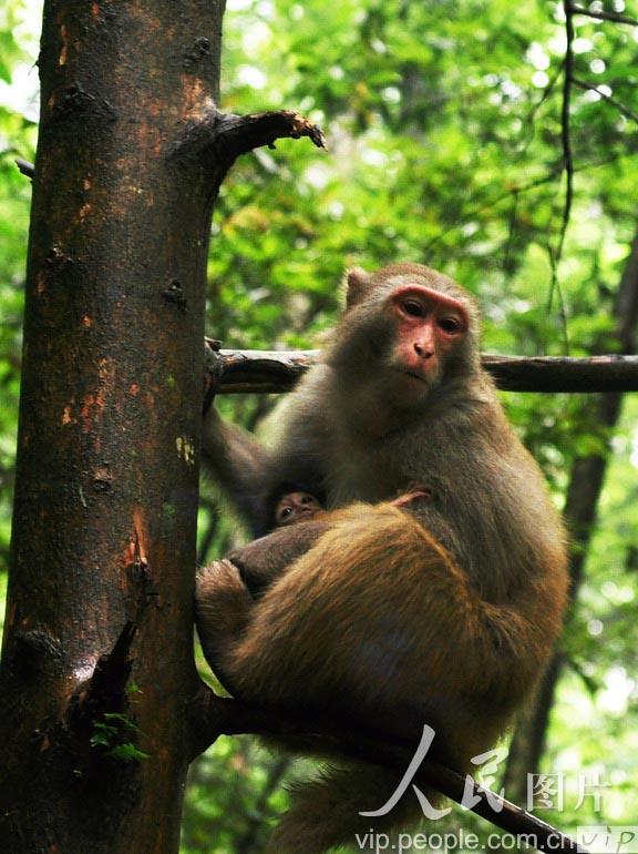 成群在游道上与游客亲密接触,除游人投食外,机灵的猴子会趁人不备偷袭