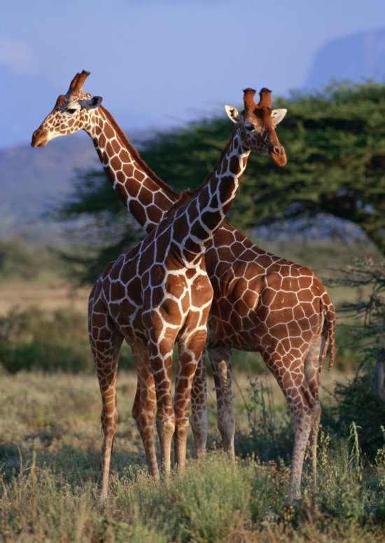 1,长颈鹿