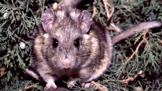 """毒素收集者:鼠类以有毒植物为食 却""""百毒不侵"""""""