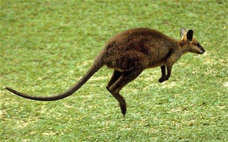 世界上最独特的动物之一,以及作为澳大利亚的标志性符号,袋鼠因它