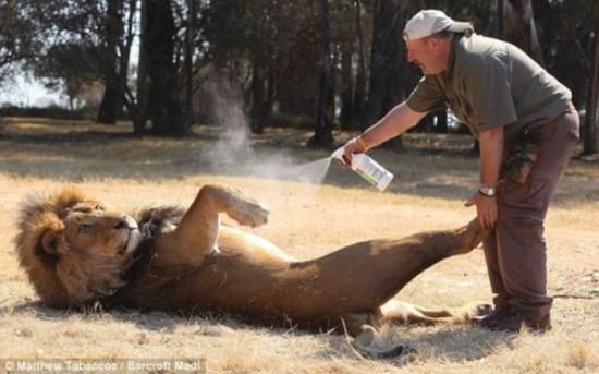 英国动物管理员为狮子喷洒定型剂梳理鬃毛(图)