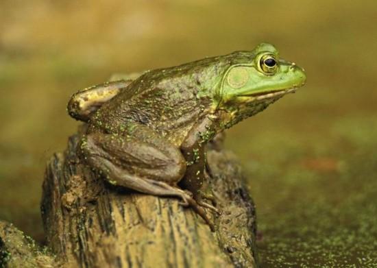 自然界的物种千奇百怪,尤其是蛙类动物。青蛙是两栖类动物,最原始的青蛙在三叠纪早期开始进化。现今最早有跳跃动作的青蛙出现在侏罗纪。随着青蛙的不断进化,出现各种令人害怕的样子怪诞的青蛙,也出现不少样貌可爱的青蛙。