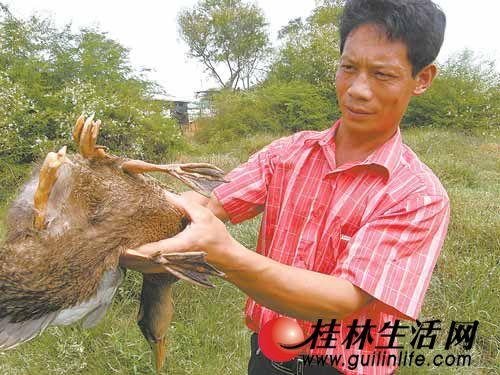 临桂县一只鸭子长四条腿 区别不大活动自如