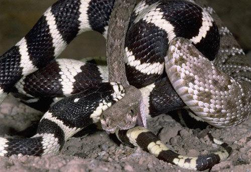 世界上最美的两种毒蛇:加州王蛇生吞响尾蛇