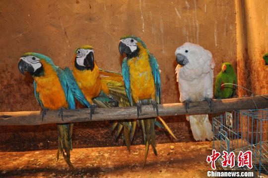 云南野生动物园鹦鹉爱打架 医生无法确定其原因