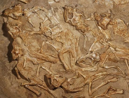 婴儿 万年/最新挖掘发现15只7000万年前幼年安氏原角龙化石,这些婴儿恐龙...