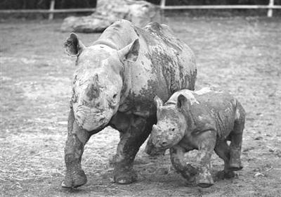 珍稀动物又少一种:非洲西部黑犀牛灭绝