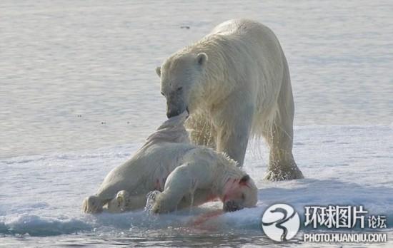 大全急转弯:北极熊不吃图片虎高清脑筋企鹅鲸鱼图片