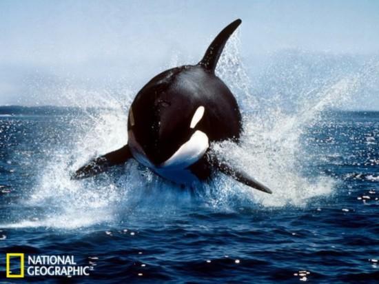 南极动物精美照:逆戟鲸跃出水面_雅虎自然